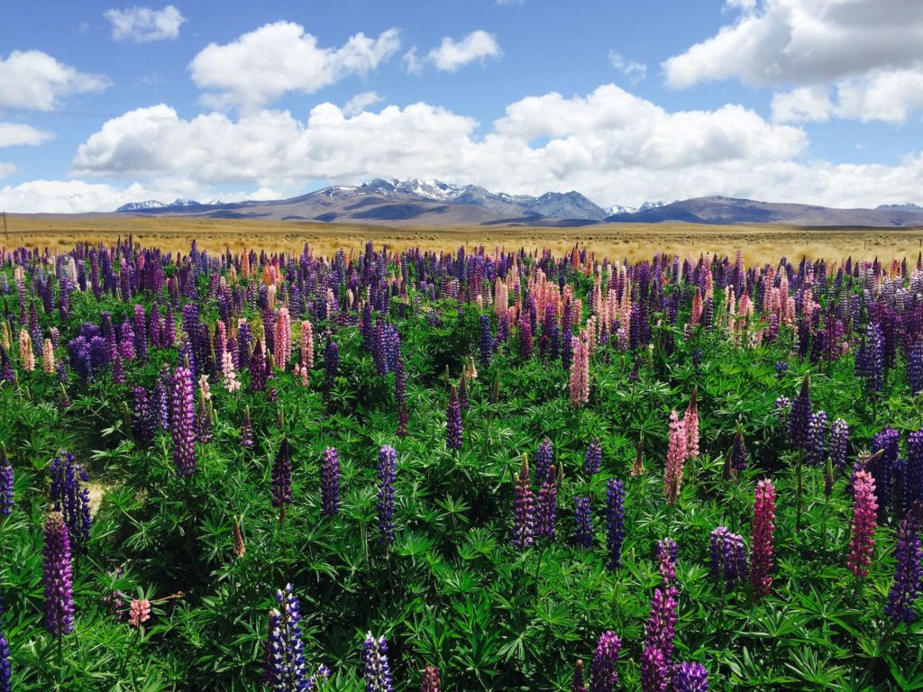 lake tekapo Lupin flowers